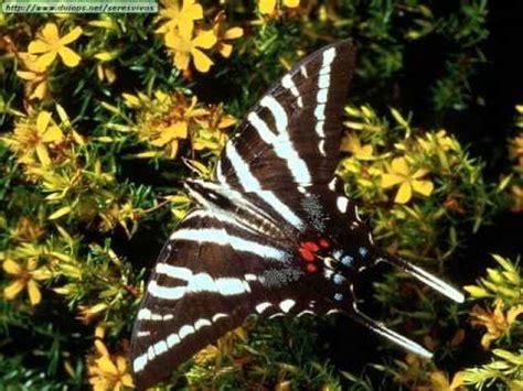 imagenes mariposas mas bonitas mundo las mariposas mas hermosas del mundo youtube