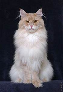 maine coon colors au pays des coons cattery colors and patterns