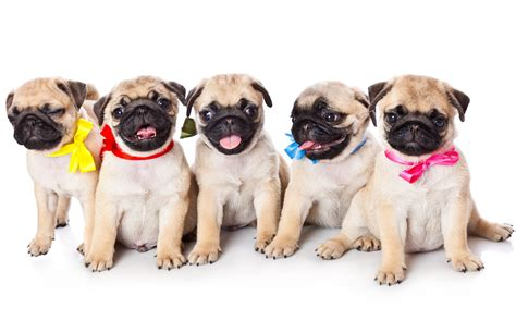 pug intelligence 3 best apartment dogs move for free