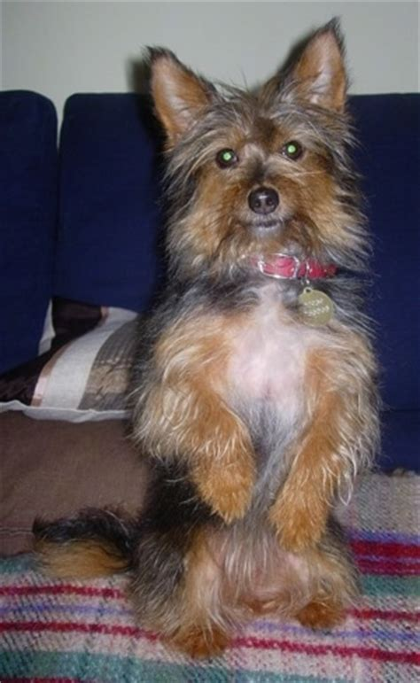 norwich terrier yorkie mix yorwich breed information and pictures