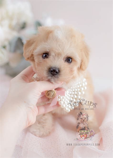 maltipoo puppy for sale biewer yorkie terrier puppies for sale teacups puppies boutique