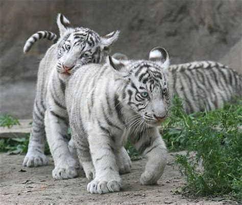 Kaos Black Panther 2 F 024 17 best images about tigers r us on mothers