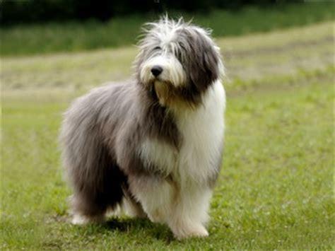paul anka puppy lowland sheepdog like paul anka on gilmore friends