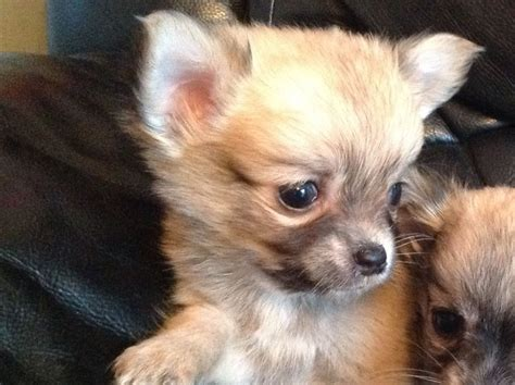 haired chihuahua puppy haired chihuahua for sale harwich essex pets4homes