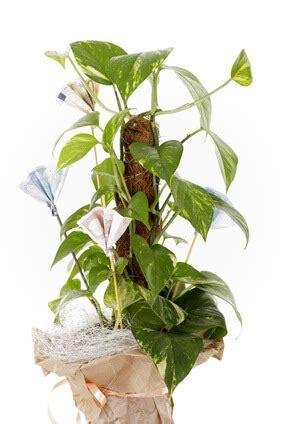 zimmerpflanzen ranken geldgeschenke zur hochzeit sch 246 n verpackt