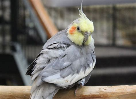 33 best cockatiel birds images on pinterest parrots