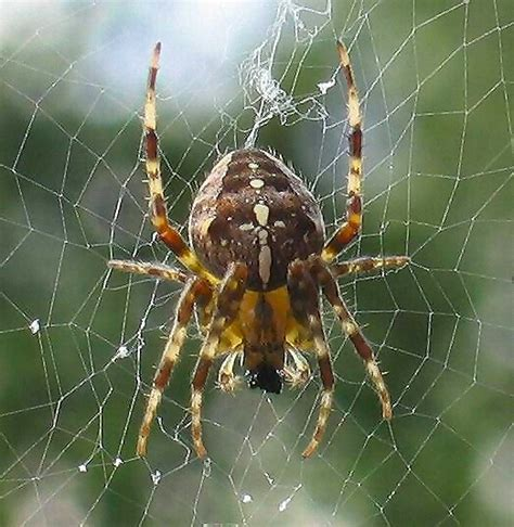 Garden Spider Poisonous by European Garden Spider Araneus Diadematus Wiki Image Only