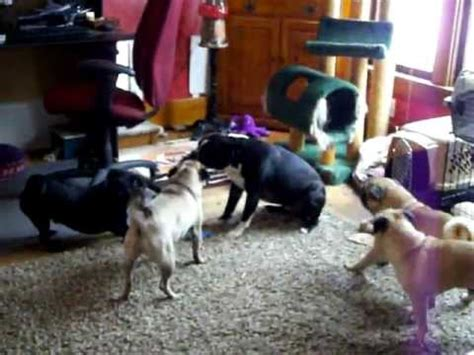 pug vs boston terrier boston terrier 55 lb vs pugs tug a war