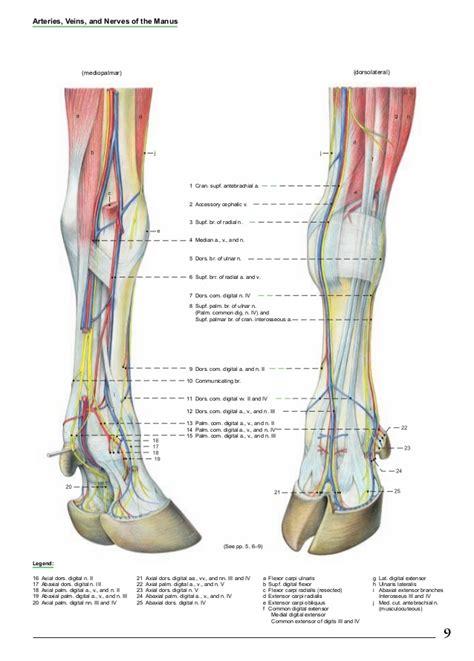 Cow Foot Anatomy