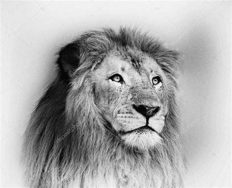 imagenes de leones blanco y negro sorprendente retrato de cara de le 243 n blanco y negro