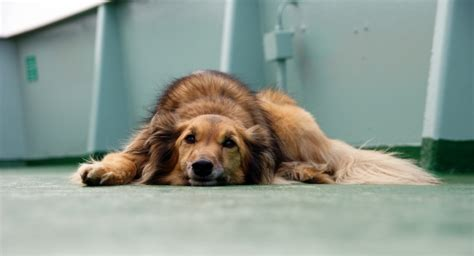 acid reflux in dogs acid reflux in dogs vague symptoms real problem