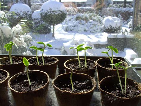 wann tomaten vorziehen tomaten gurken zucchini k 252 rbisse und paprika vorziehen