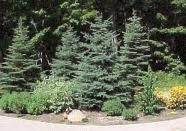 full size evergreen trees information and price list