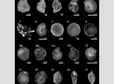 Foraminiferal genera and their morphotype classification ... Foraminiferal