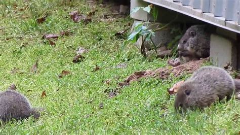 baby groundhogs that live shed 5 6 2013