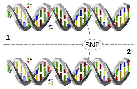 Gene Snp Detox Test by Polimorfismo De Nucle 243 Tido 250 Nico La