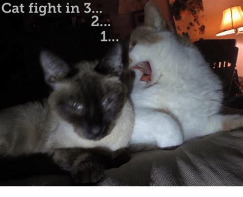 Cat Fight Meme - 25 best memes about cats fight cats fight memes