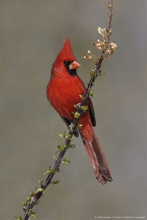 state bird of north carolina pin by stephen d decker on birds of a feather pinterest