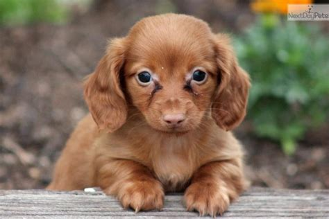 dachshund puppies for sale in lancaster pa lancaster rental backpage