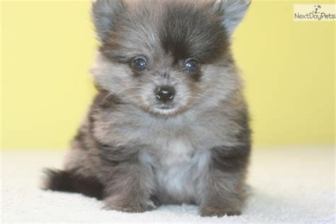 blue teacup pomeranian blue merle teacup pomeranian