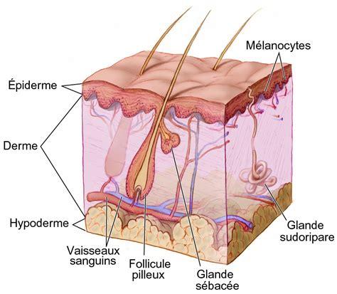 what does couche mean what does couche mean anatomie fonctionnelle de la peau