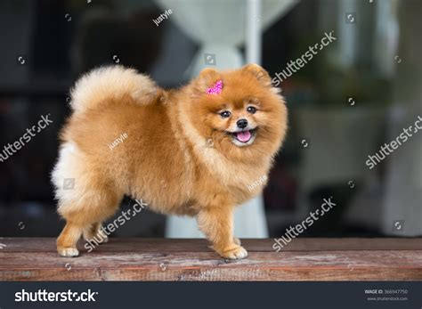pomeranian with bow pomeranian pomeranian with pink bow smiling and on wood table
