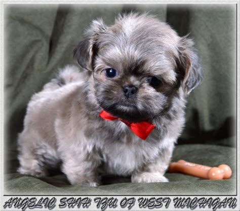 shih tzu breeders west shih tzu puppies we shih tzu puppies akc 4lb 13lb range in hoobly