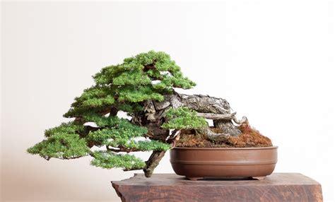 mountain hemlock bonsai mirai