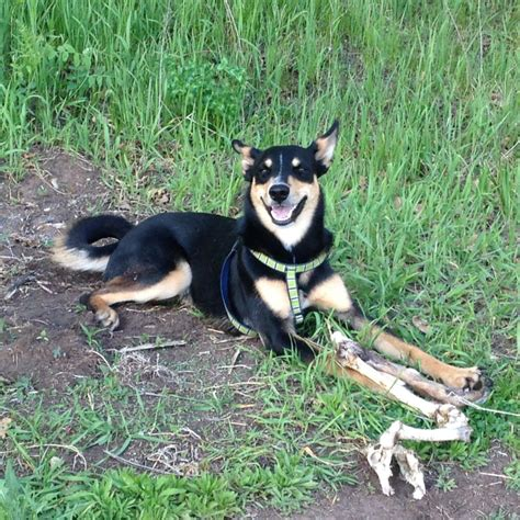 bench kelpie 100 bench kelpie saved by dogs uncommon terriers