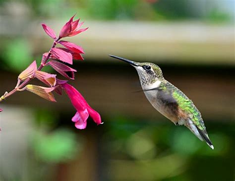 hummingbirds and salvia wendy s wish hummingbird