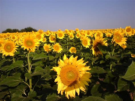 sunflowers in kansas panoramio photo of kansas sunflowers