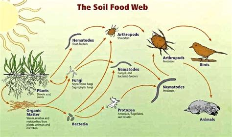 soil food web diagram soil health and fertility ridge shinn