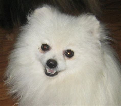 pomeranian puppies white below are our exles of whites we produced here to give you an idea what our