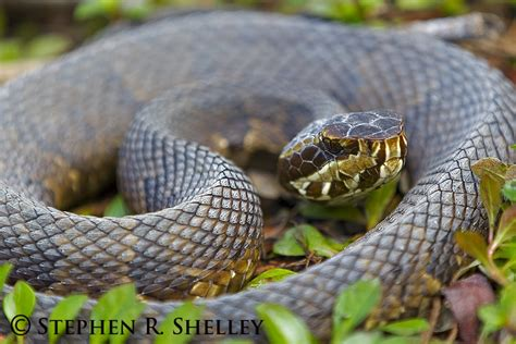 images of a water moccasin water moccasin images search