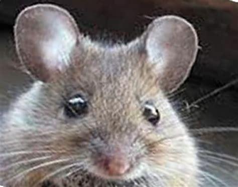 topi in giardino topi in giardino rimedi biologici per allontanarli