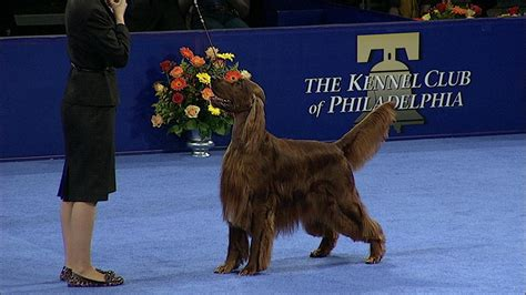 irish setter dog show sporting group irish setter nbc sports