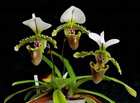 cura delle orchidee in vaso cura delle orchidee cura orchidee come curare le orchidee