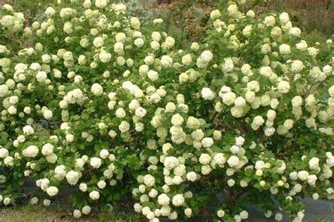 viburno in vaso viburnum opulus piante da giardino come coltivare il