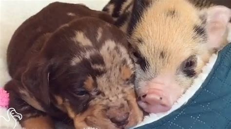 pig puppy abandoned pig s new best friend is a puppy