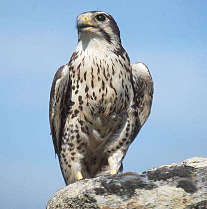 images of a falcon prairie falcon