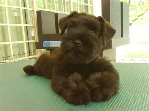 miniature schnauzer puppies rescue miniature schnauzer puppy for adoption foto 2017