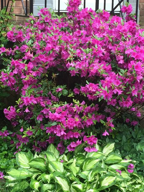 azalea bush colors last minute s day gift azalea bush