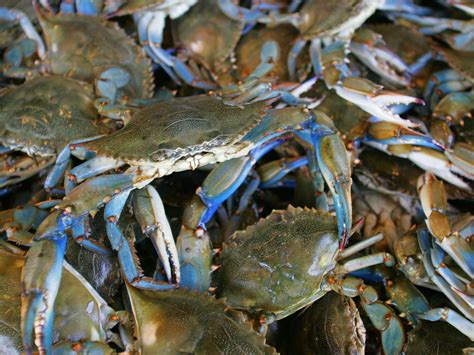 5 Things You Didn't Know About Blue Crab   Coastal Living
