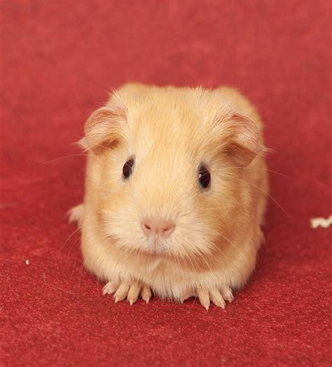 guinea pug guinea pig pictures guinea pig hub