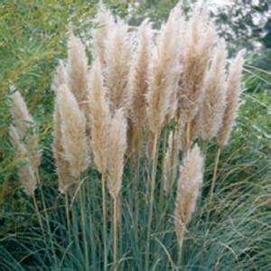 vigoro  gal pampas grass  sandy white blooms