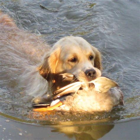 golden retriever puppies illinois il golden retriever sbava il golden retriever sbava golden retriever puppy for