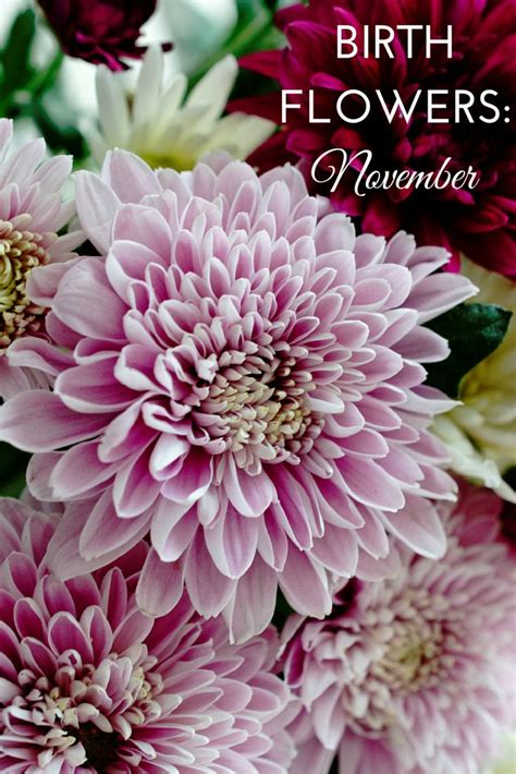 november flower birth flowers november chrysanthemums popular gifts