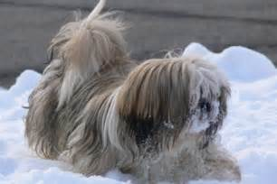 haircuts for shih tzus males male shih tzu haircuts