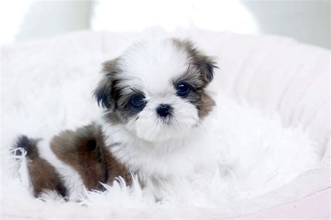 puppies for adoption in los angeles teacup maltese puppy for sale adoption from los angeles california adpost