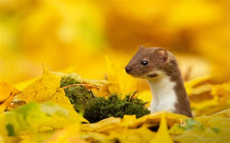 mouse yellow leaf  autumn  bing wallpaper preview